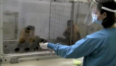 Curiosa la reacción de un mono cuando le dan un pepino de premio