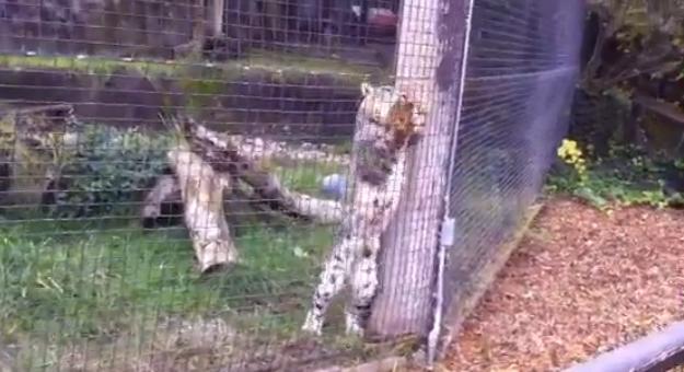 Un leopardo de las nieves atrapa a una ardilla y se la come