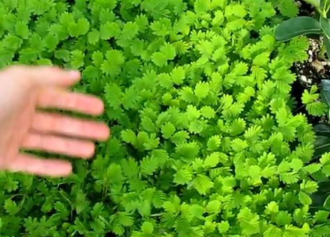 Mimosa pudica, una planta que reacciona al tacto