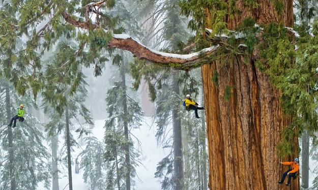 El Presidente, uno de los árboles más grandes del mundo