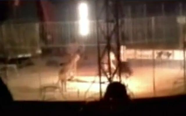 Un tigre de bengala mata a un domador en pleno espectáculo en México