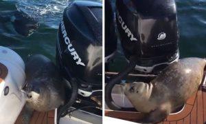 foca-salta-barco-escapando-orcas