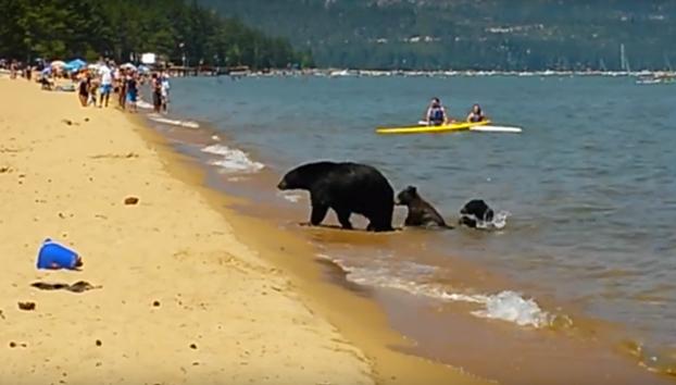 Una mamá oso y sus oseznos entran en un lago lleno de turistas para refrescarse (Vídeo)