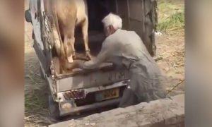 vaca-mata-hombre-patada-pecho