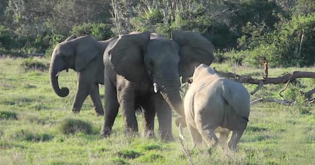 Elefante demostrándole a un rinoceronte quien es el jefe