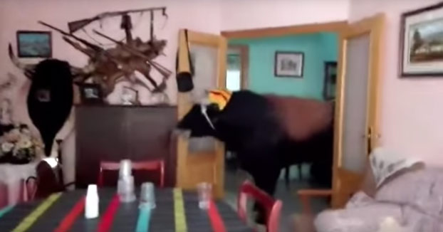 Un toro entra en la casa de una familia taurina y llega hasta el salón