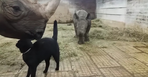 Los gatos siempre haciendo amigos, hasta con los rinocerontes