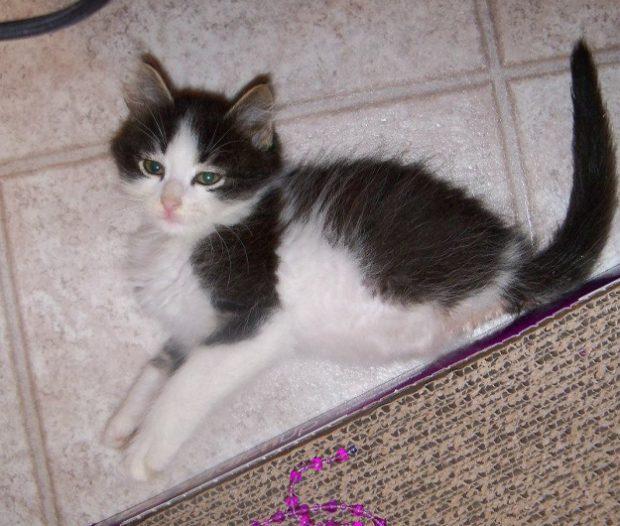 Anakin, un gato que nació sin sus patas traseras