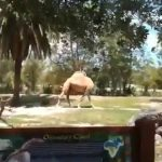 Estos turistas se quedaron atónitos al ver a ¿un camello sin cabeza?