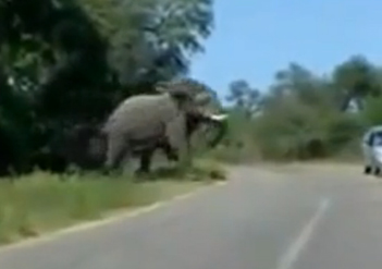 Un conductor se libra por los pelos de la embestida de un elefante