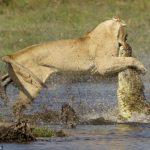 Fotografías: Una leona se enfrenta a un cocodrilo para que su manada pueda cruzar el río