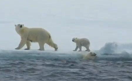 Un bebé de oso polar es ayudado por su madre a salir del agua