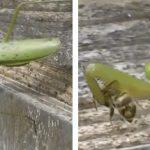 Una mantis religiosa caza dos abejas con una rapidez increíble y las devora a la vez
