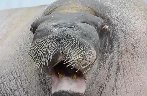 Una morsa demostrando sus habilidades vocales