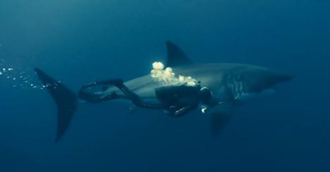 Buzo nadando pegado a un enorme tiburón blanco