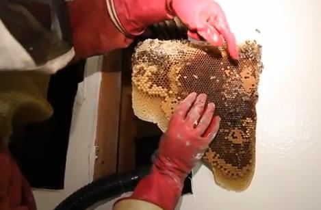 Así es como un profesional quita un nido de 50.000 abejas del interior de la pared de una casa