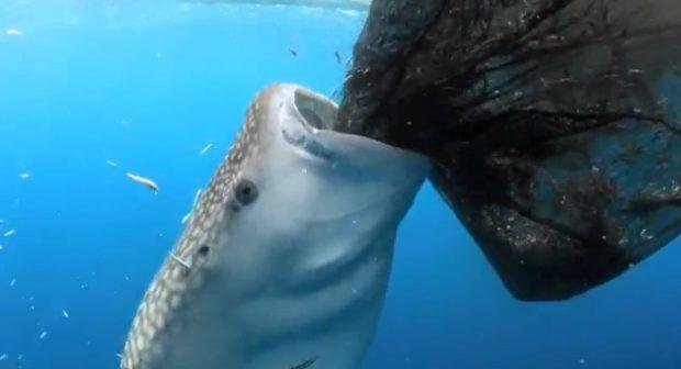 Un tiburón ballena le roba el pescado a los pescadores