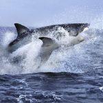 Impresionante fotografía de un tiburón blanco intentando atrapar a una foca fuera del agua