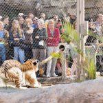 Un zoológico permite a los visitantes medir sus fuerzas con los tigres