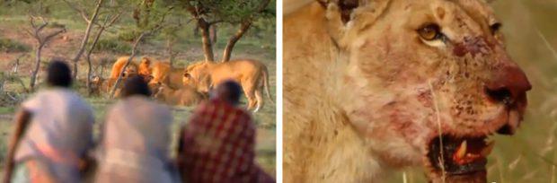 Así es como se roba el almuerzo de 15 leones