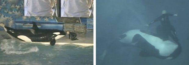 Sale a la luz el vídeo del ataque de la orca Kasatka a su entrenador