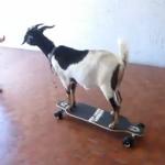 Una cabra que tiene un récord Guinness en skate
