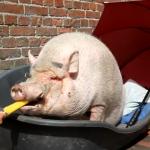 Los cerdos también tienen derecho a comer helado