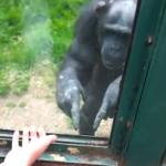 Chimpancé dando instrucciones para que lo ayuden a escapar de su recinto