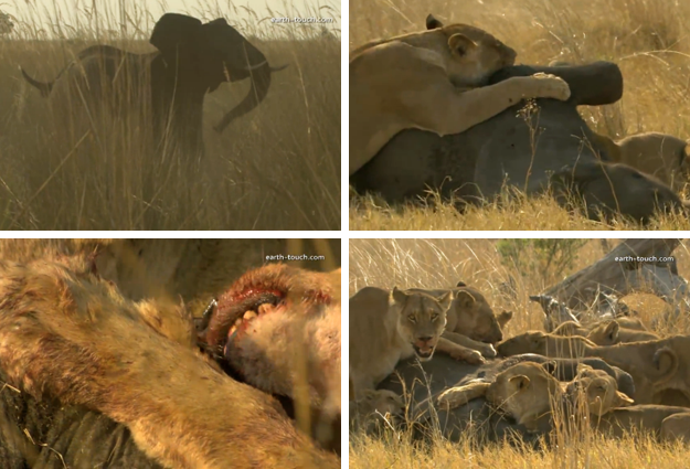 Un grupo de leones se comen a un elefante vivo