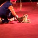 Un leopardo ataca a una niña del público en una actuación de circo