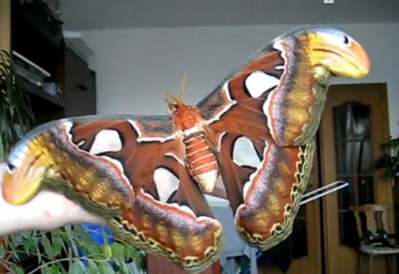 Attacus Atlas, la mariposa más grande del mundo