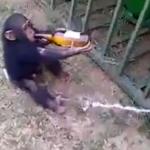 Esta es la reacción de un mono cuando le quitan una botella de cerveza de la que bebía
