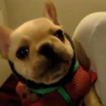 Un Bulldog francés dice a su dueña ''I love you''