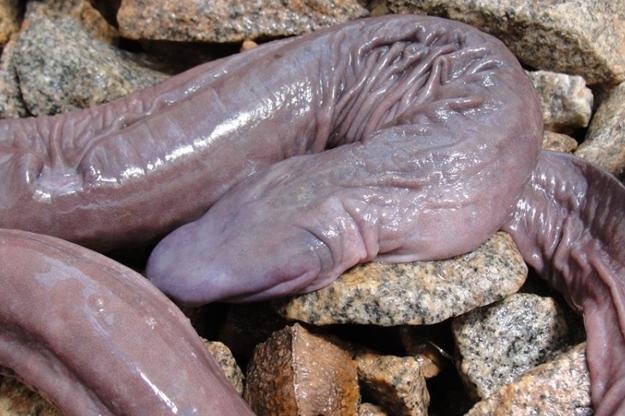 Un serpiente con forma de pene