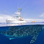Impresionantes imágenes de un tiburón ballena en la costa de Cancún