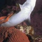 Tiburón vs. pulpo