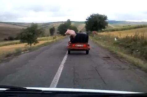 Un cerdo se escapa de una camioneta en marcha en Rumanía
