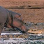 National Geographic graba como un hipopótamo se acerca a los cocodrilos para lamerlos y darles caricias