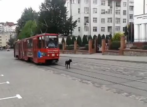 Un perro que ni se inmuta ante la llegada del tranvía