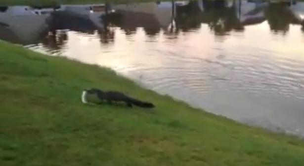 Un Alligator le roba la pesca a una niña