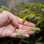 Momento tierno del día: Camaleones bebé