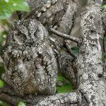 El impresionante camuflaje de los búhos