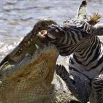 Las fauces de la muerte: El impresionante momento en el que un cocodrilo ataca a una cebra en un río de Kenia