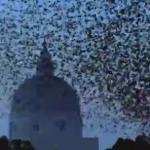 Un halcón obliga a un numeroso grupo de estorninos a hacer impresionantes formas en el cielo de Roma
