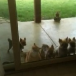 Un gato ayuda a abrir la puerta de casa para que entre un grupo de cachorros