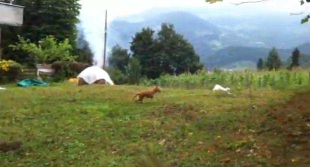 Un gato se escapa de un perro de una forma astuta