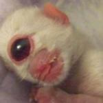 Cleyed, el gatito cíclope de bengala que nació con un sólo ojo