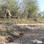 Un leopardo cazando a un impala al vuelo