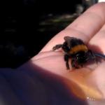 Revive a un abejorro dándole miel con la mano