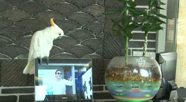 La cacatúa que canta el Gangnam Style de PSY